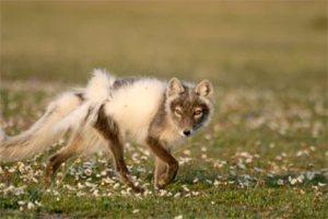ANWR Fox