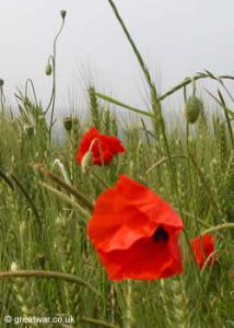 Poppies on the Somme